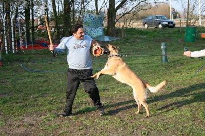 Club Malinois - Dressage canin Ville Pommeroeul - Tonton Fafa