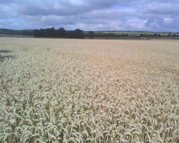 blé royssac